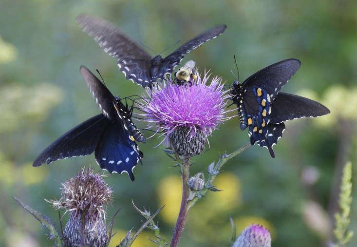 Darke-Butterflies