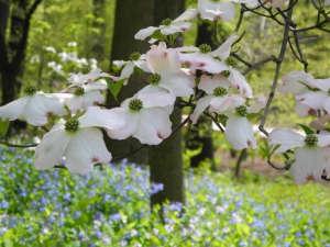 Cornus florida in bloom, NYBG for gardenista