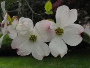 Dogwood Cornus florida ; Gardenista