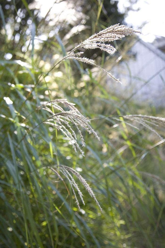 Drought_Tolerant_Muhlenbergia_Grass_In_Berkeley_California_Garden_Via_Gardenista