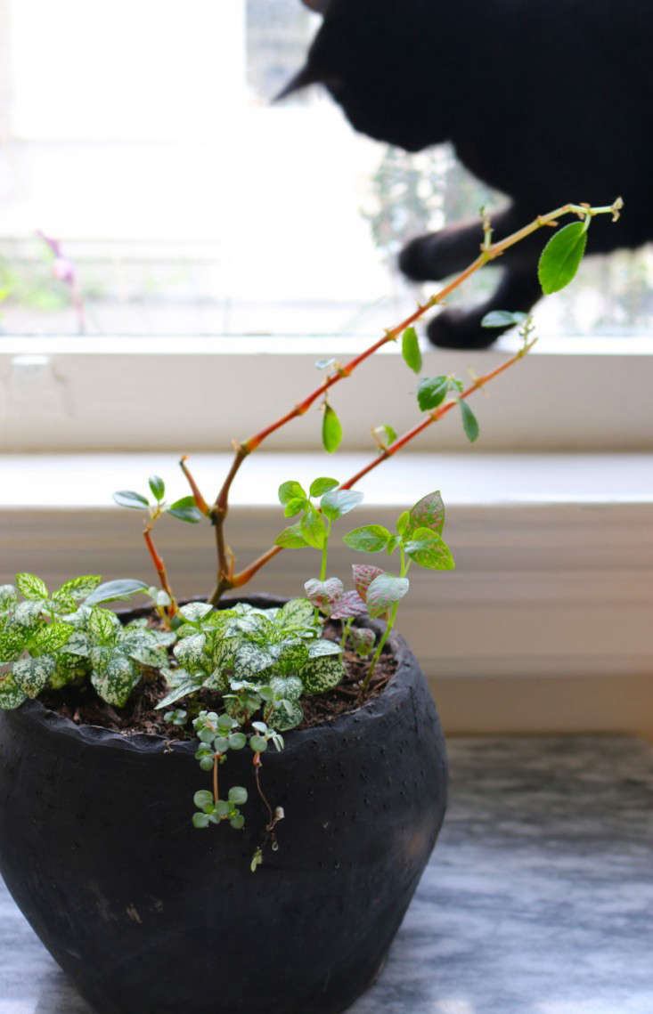 Dying Begonia Houseplant with Black Cat in Background, Gardenista