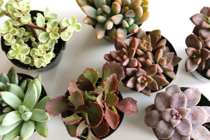 Early-Fall-Dinner-Party-Succulents-Meredith-Swinehart-Gardenista-1