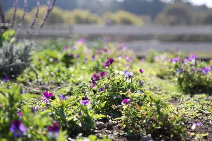 Edible Flowers at Harley Farms in California, Gardenista