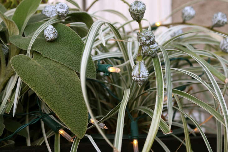 Eucalyptus pods and lights for holiday window boxes, Gardenista