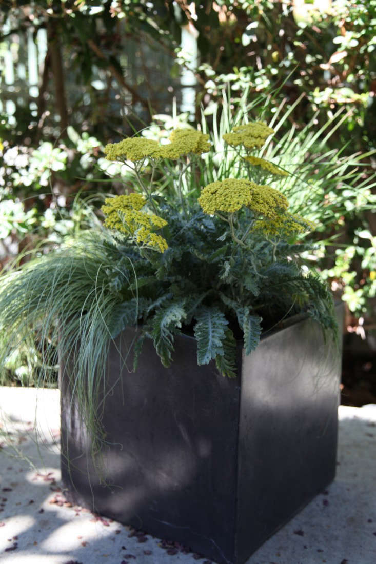 Finished Container of the Week Planter from Gardenista with Yellow Flowers and Grasses in Container