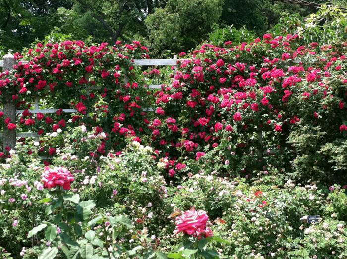 Gardenista-roses