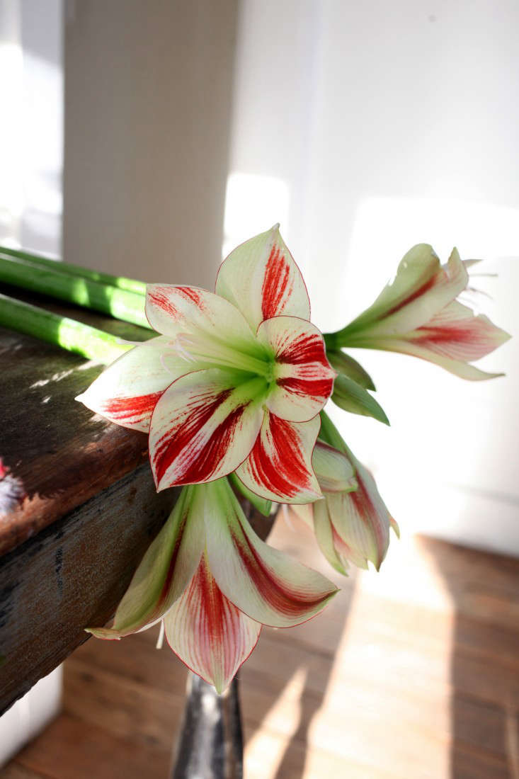 GardenistaHolidayArrangement_Amaryllis-Sophia-Moreno-Bunge