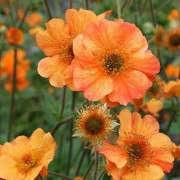 Geum-Totally-Tangerine