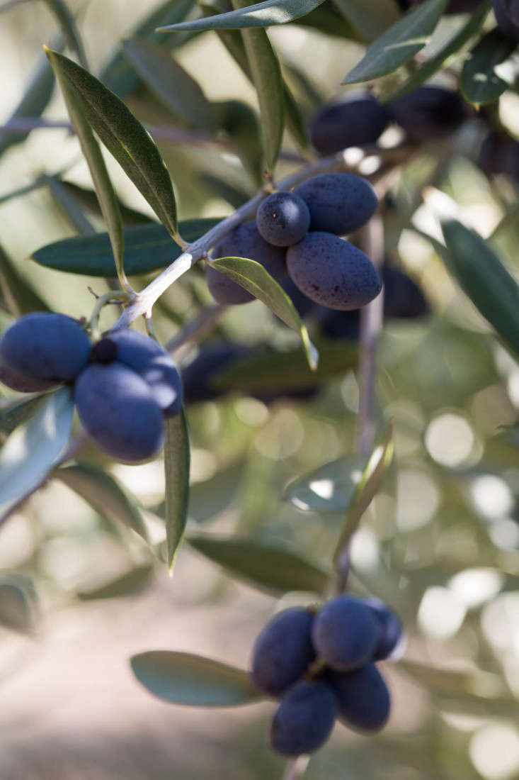 Grove-45-black-olives