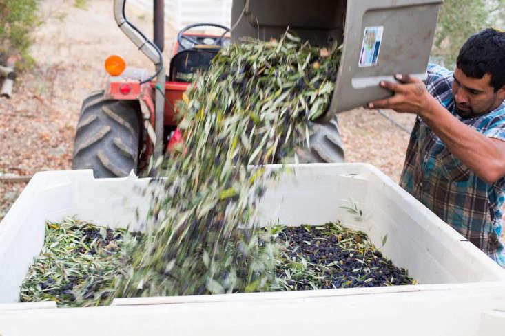 Grove-45-harvesting-olives