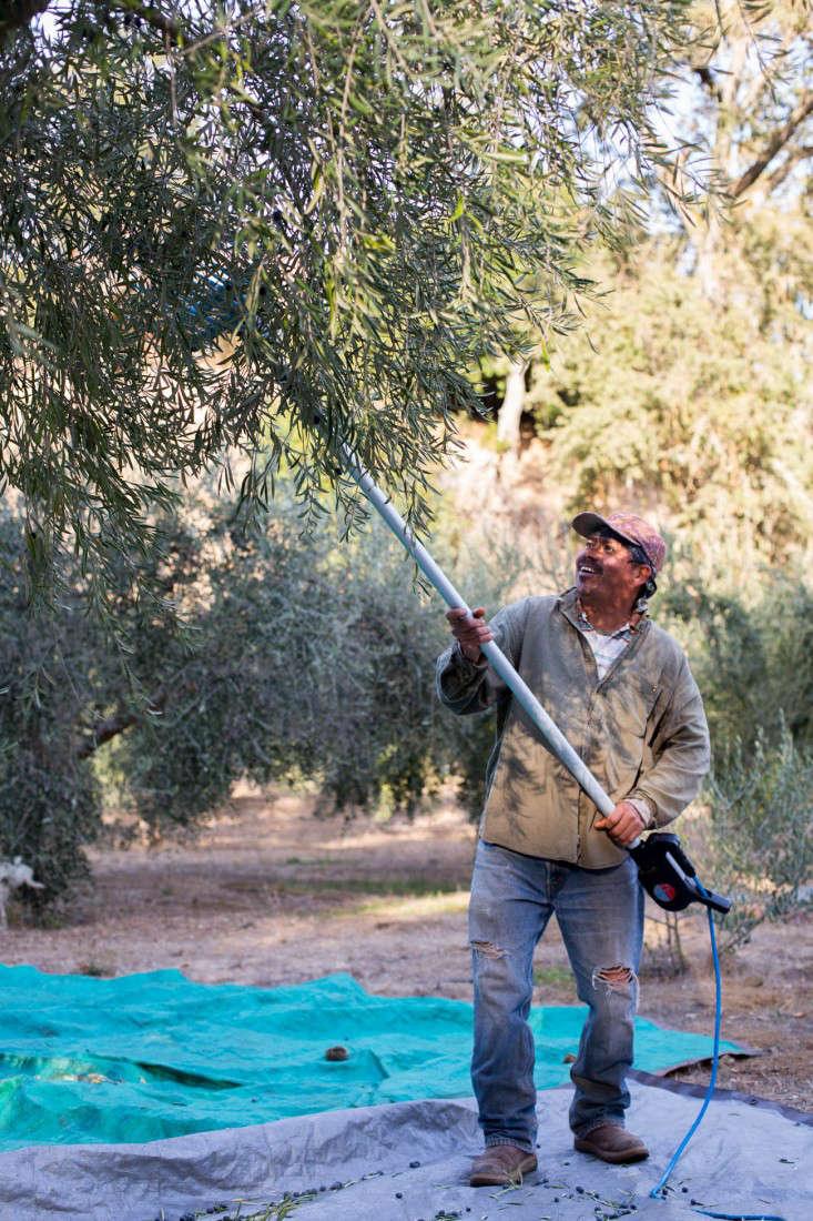 Grove-45-olive-harvesting