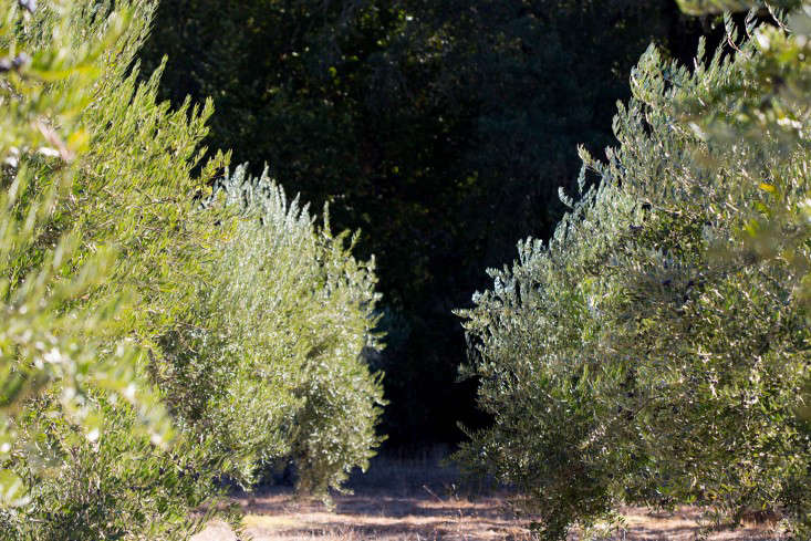 Grove-45-olive-trees