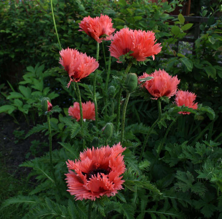 Grow-London-Glendon-nursery-poppy