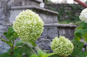 Hydrangea arborescens Annabelle ; Gardenista