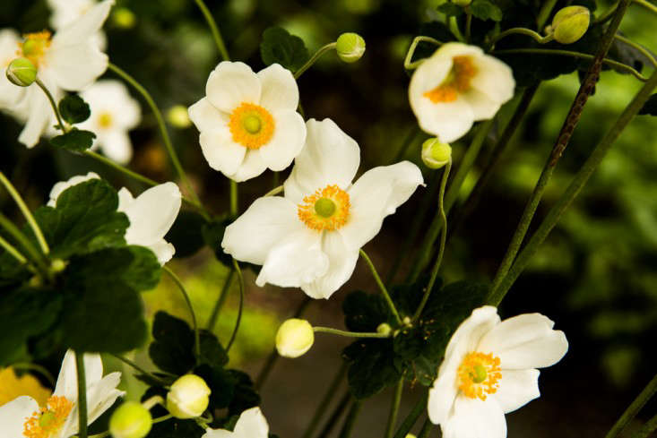 Japanese White Anemone Flowers with Yellow Centers from Kim Hoyt Architect Project, Gardenista