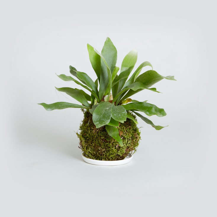Kokedama_Staghorn_Fern_the-sill-gardenista
