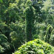 Kudzu-on-trees-Flickr-Jon-Person