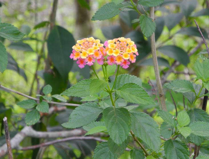 Lantana, Anahuac Wildlife Refuge for gardenista