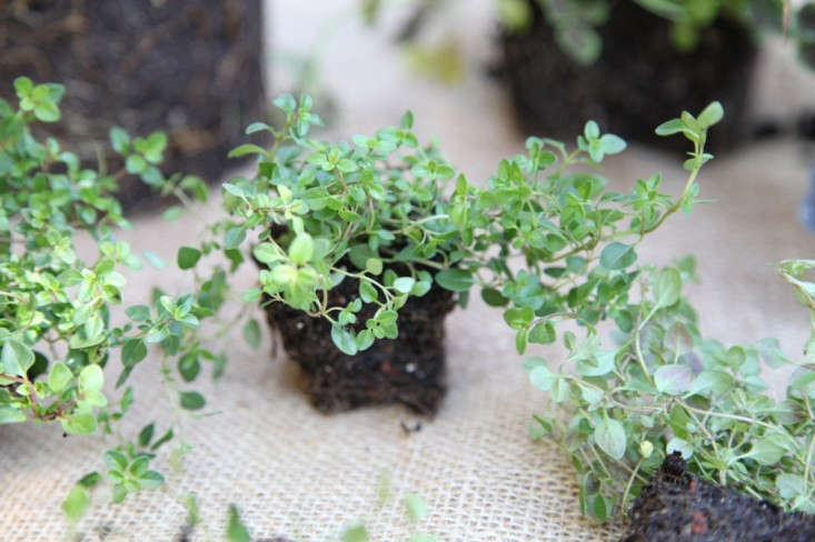 Little Creeping Thyme Plants, Gardenista