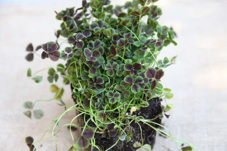 Little Plant with Green and Purple Leaves, Gardenista