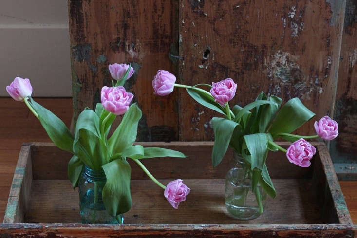 Longest Lastest Spring Blooms, tulips, day 4