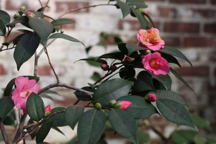 Lyman Estate Camellias,  pink 3