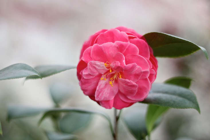 Lyman Estate Camellias, pink 2