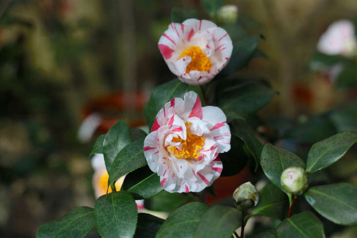 Lyman Estate Camellias, pink stripe