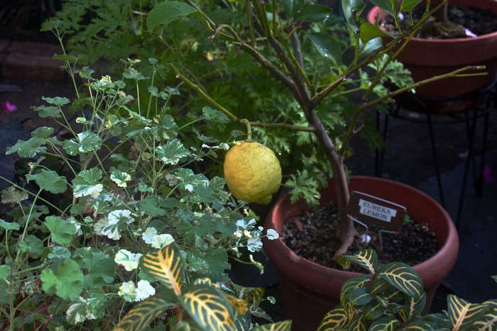 Lyman Estate Waltham, MA, lemon in th ecitrus house