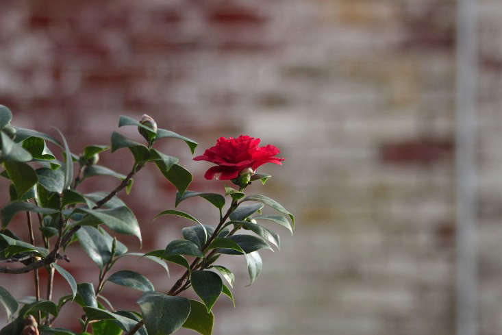 Lyman Estate, red camellia 2