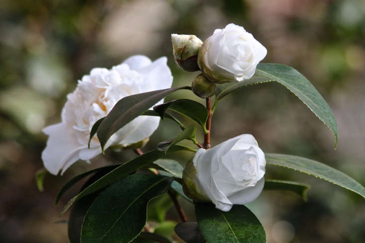 Lyman Estate, white camellia 2