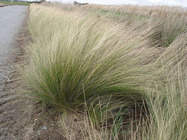 Mexican-feather-grass-Stipa_tenuifolia-gardenista