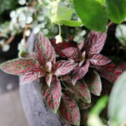 Miniature Mottled Tropical Plant, Gardenista
