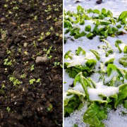 Mizuna in Winter and Spinach in Snow, Seattle Urban Farm Company, Gardenista