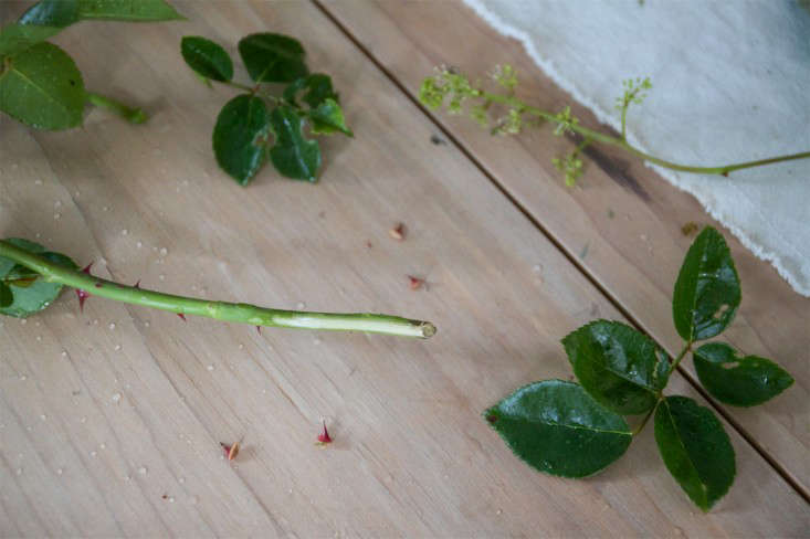 New Dawn Rose Bouquet, cutting rose stems, by Justine Hand for Gardenista