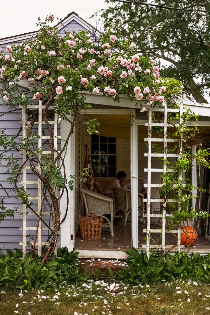 Diy Climbing Roses From Trellis To Vase On Cape Cod