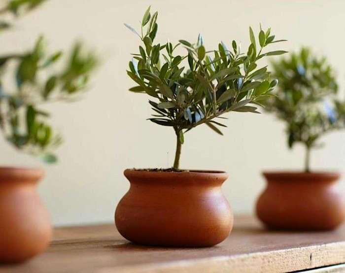 Olive-Topiary-viva-terra-gardenista