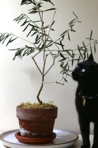 The Novice Gardener's Indoor Olive Tree Houseplant and Little Black Cat | Gardenista