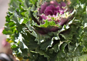 Close up of ornamental kale, Gardenista