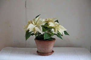 Poinsettia bouquet with rop hips, white poinsettia, by Justine Hand for Gardenista