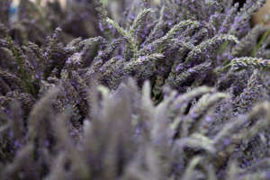 Wide shot lavender for sale, Portland Farmers Market for gardenista