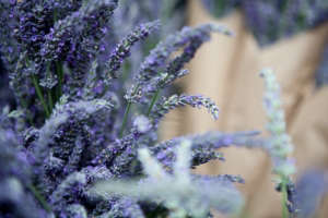 Lavender for sale at Portland Farmers Market