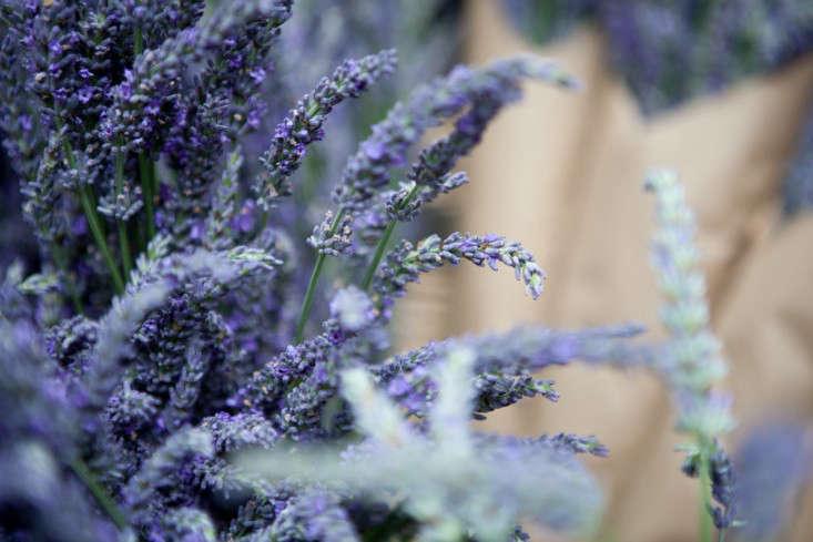 Portland-Farmers-Market_Michael-A-Muller-lavender-close