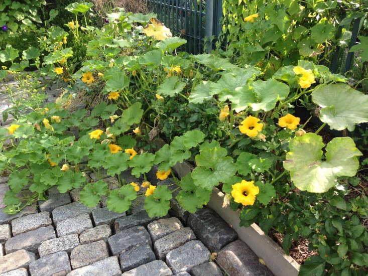 Potager-squashvine-AFilippone-gardenista