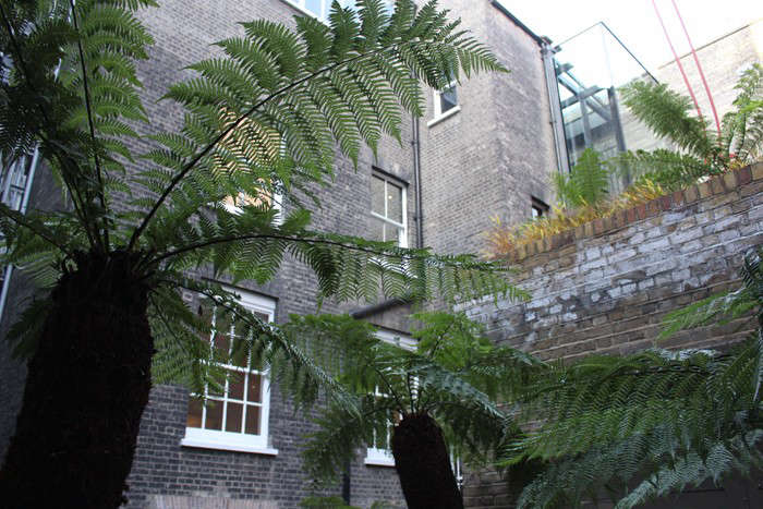 A Secret Courtyard Garden In Piccadilly Ancient Tree