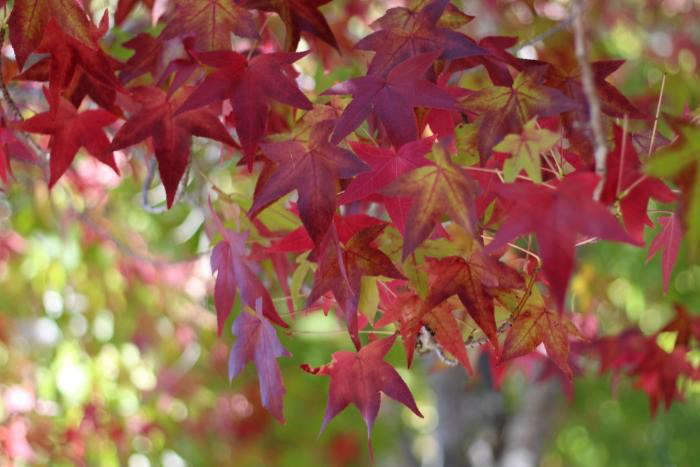 Fall S Here Identify Those Colorful Leaves Gardenista