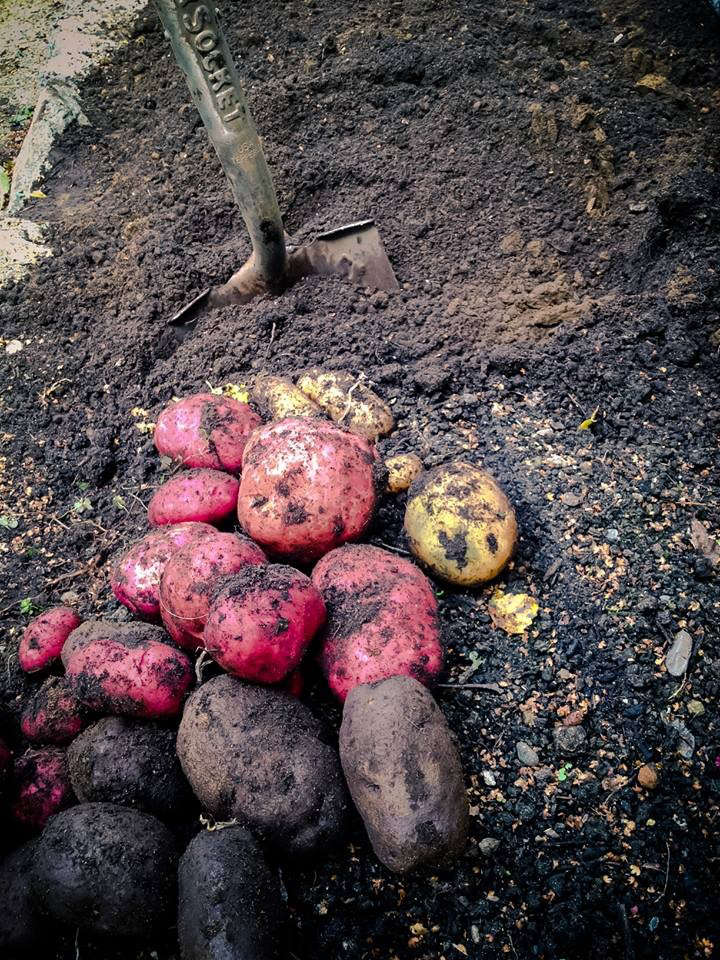 Red and Purple Potatoes, Seattle Urban Farm Company, Gardenista