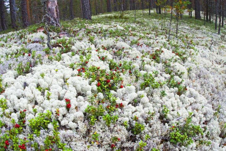 Reindeer-moss-2-Gardenista
