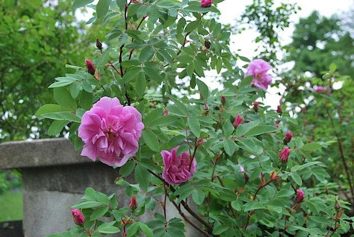 the 7 best climbing roses for your garden gardenista. Black Bedroom Furniture Sets. Home Design Ideas