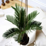 Sago Palm Poisonous to Dogs and Cats, Gardenista